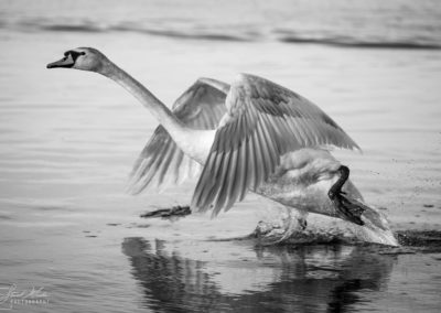 photography_smp_swan